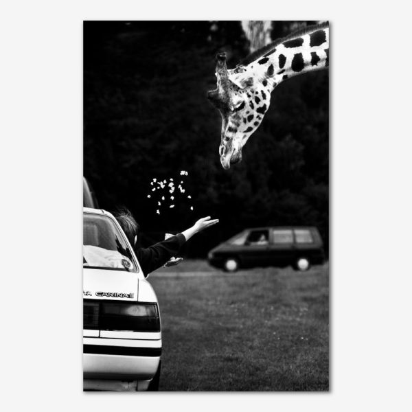 Ulovlig fodring af giraf. Foto Lars Krabbe.