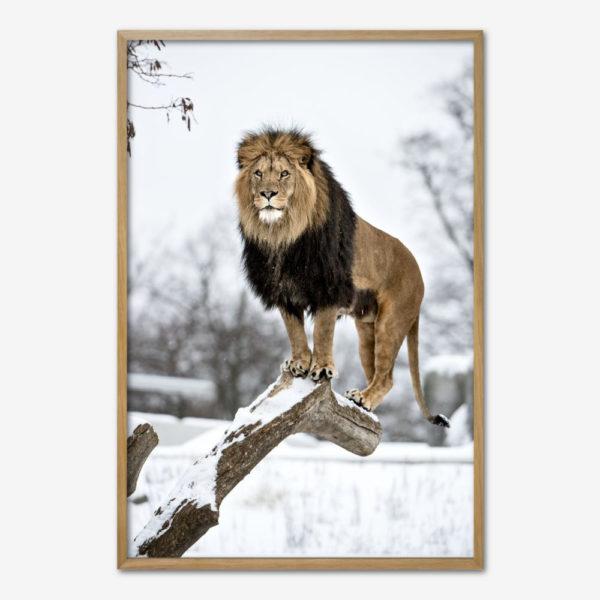 Lion King i Zoologisk Have. Foto Lars Krabbe.